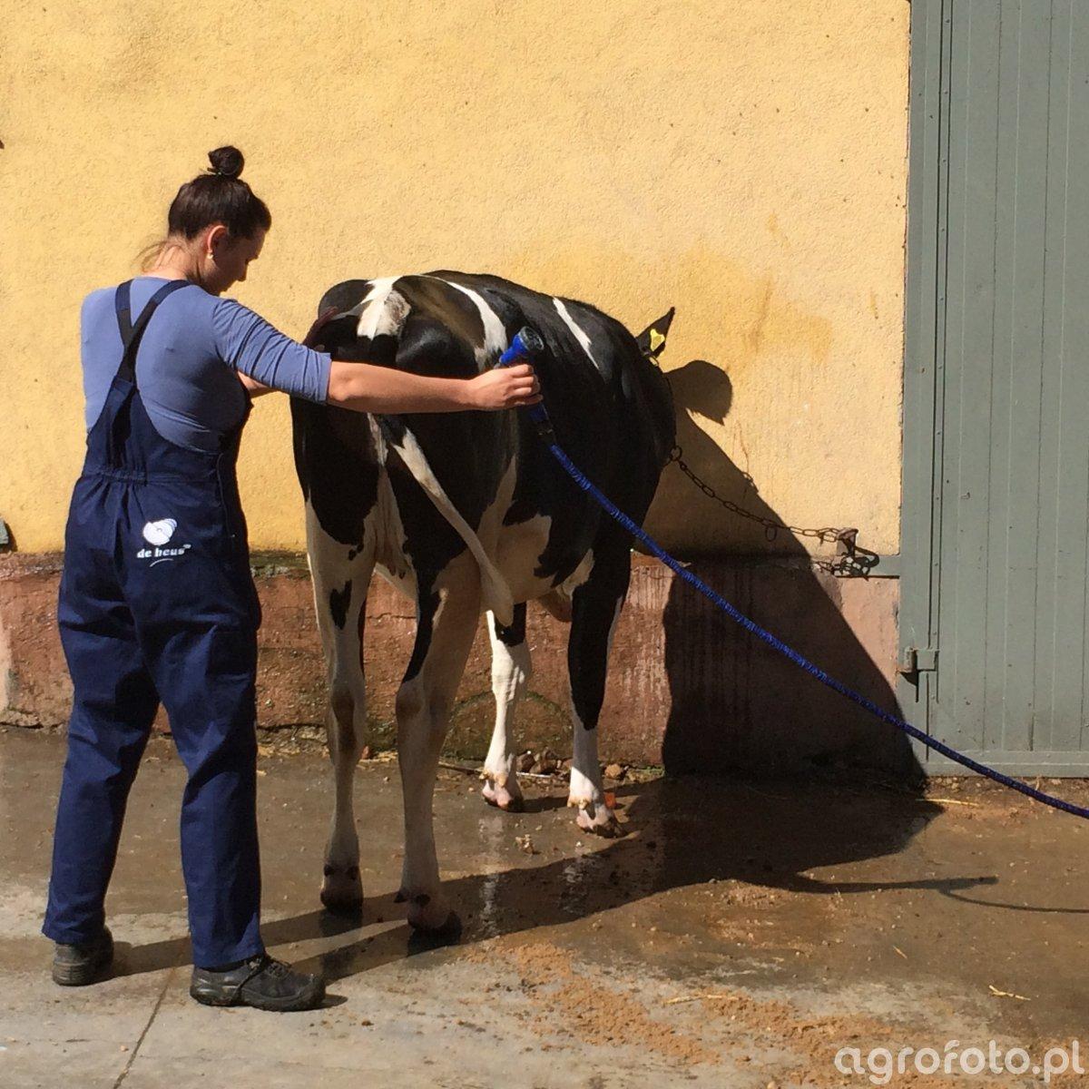 Szkolenie z przygotowania bydła do wystaw