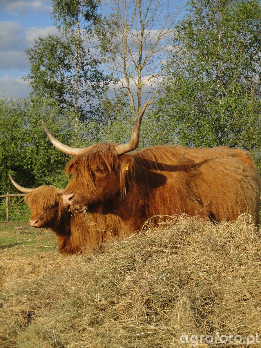 Krowy mamki Highland Cattle