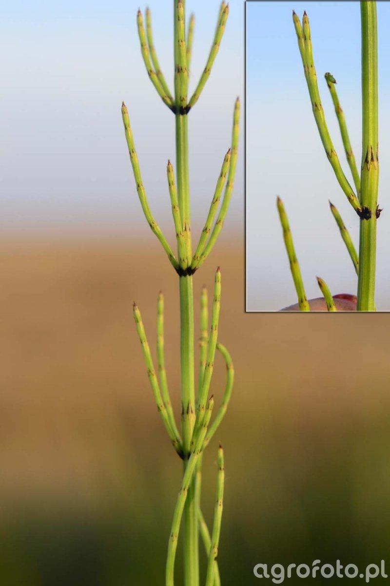 Skrzyp błotny (Equisetum palustre L.)