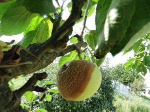 Brunatna zgnilizna owoców jabłoni
