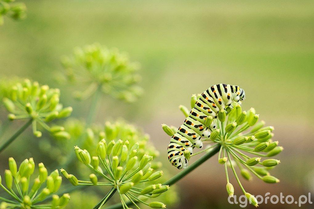 Gąsienica pazia królowej