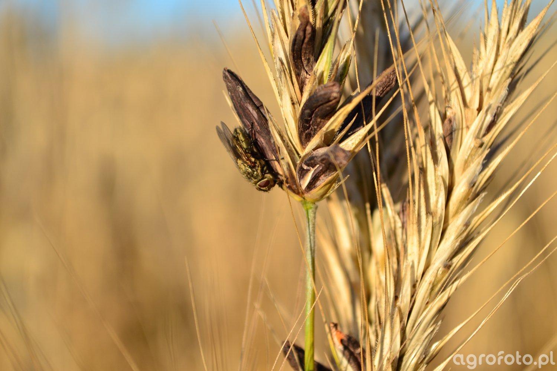 Sporysz zbóż