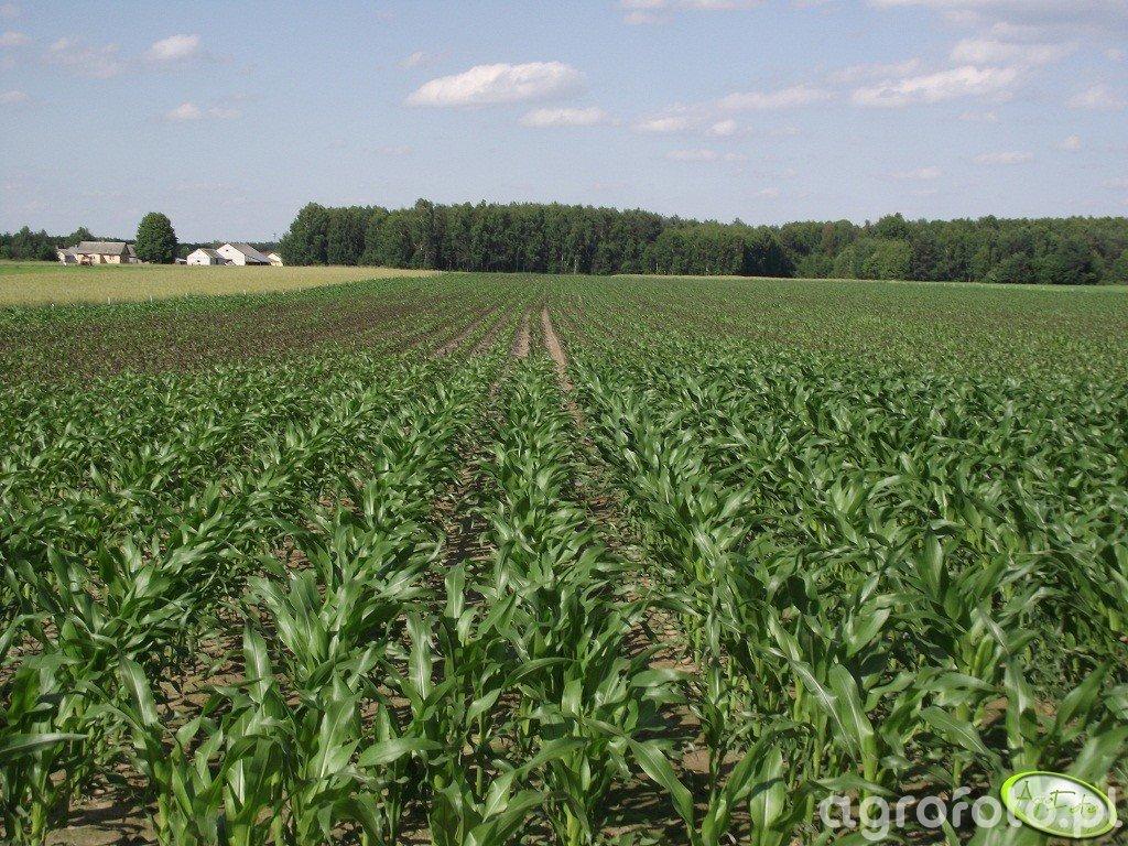 Kukurydza Ricardinio