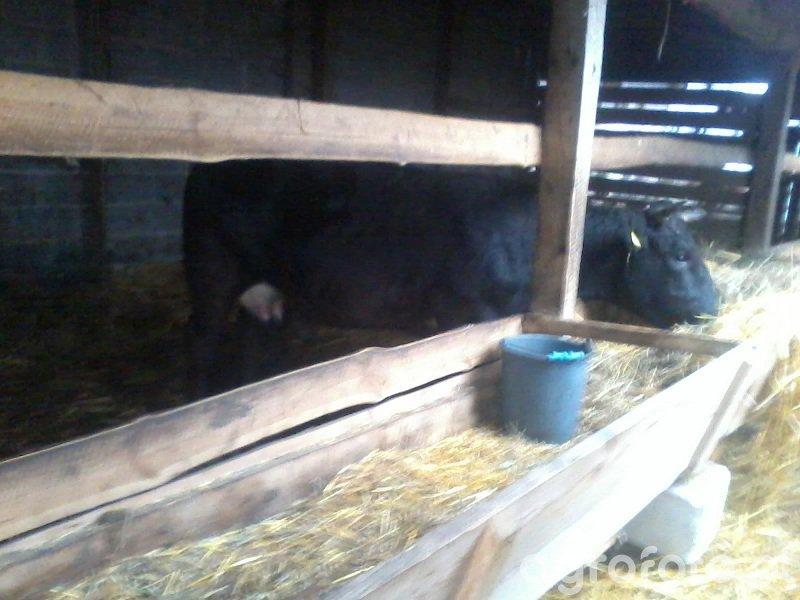 Krowa Pierwiastka