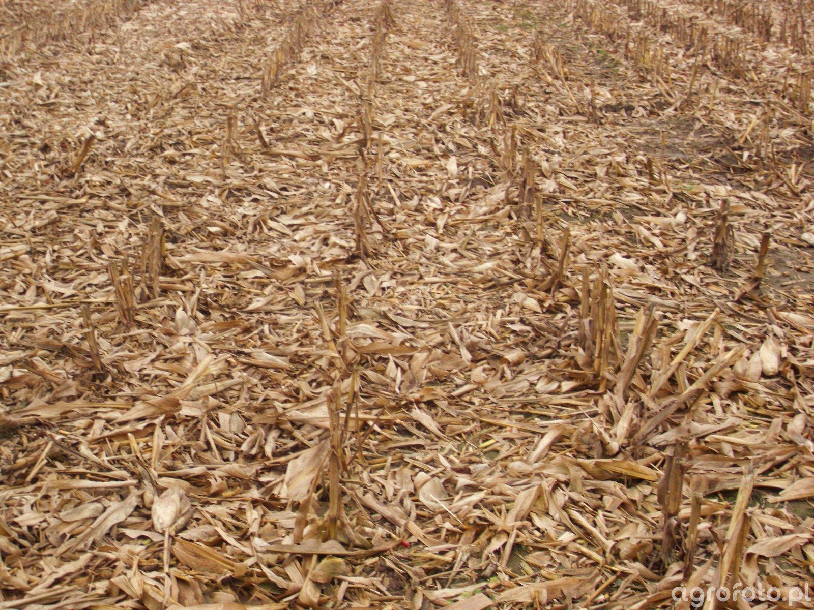 Ściernisko po kukurydzy na ziarno