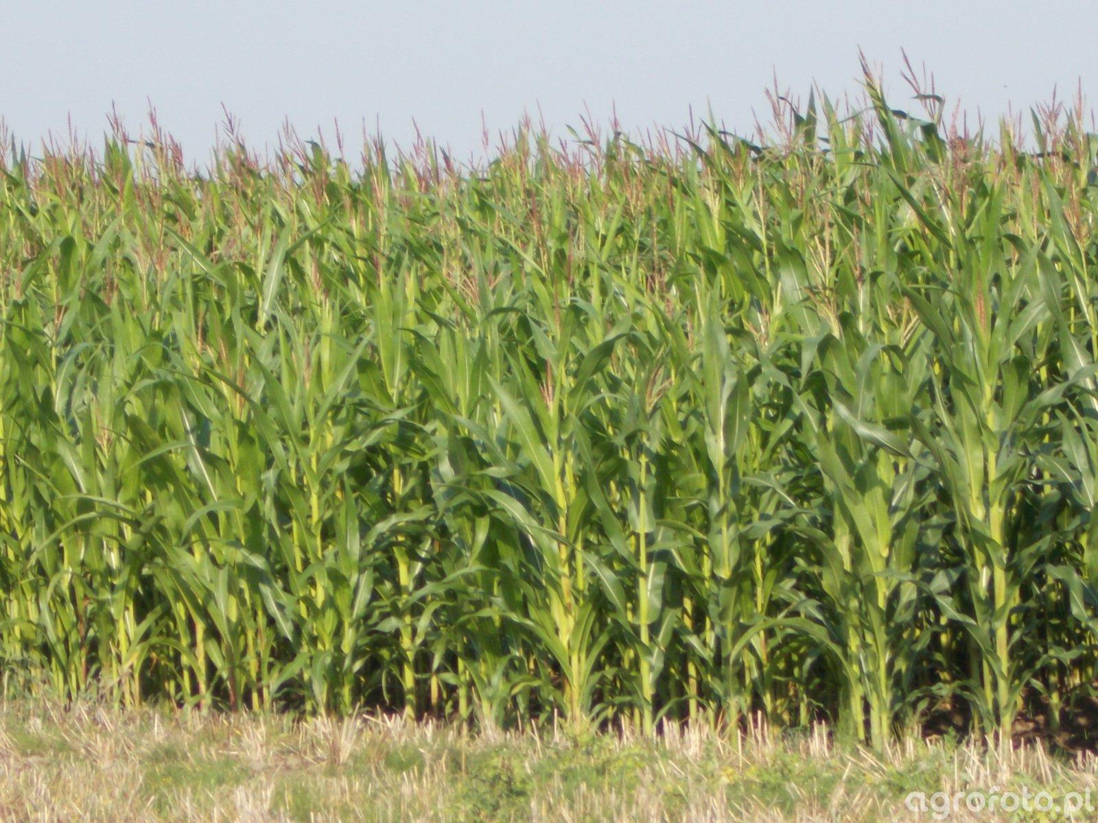 Kukurydza po jęczmieniu