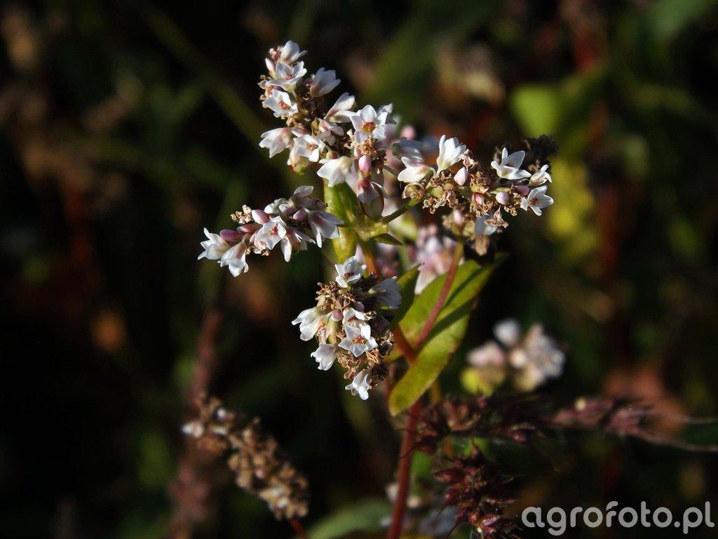 Kwiat gryki