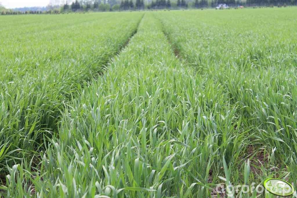Uprawa pszenicy na Hokkaido