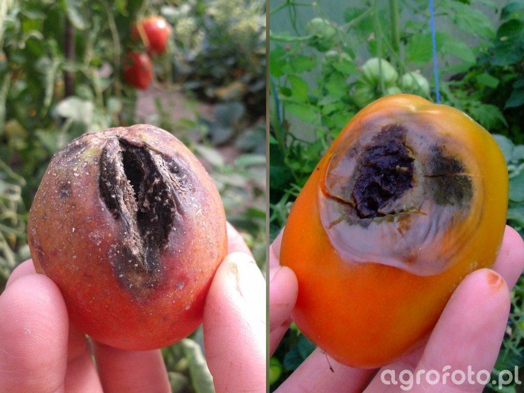 Alternarioza i antraknoza pomidora