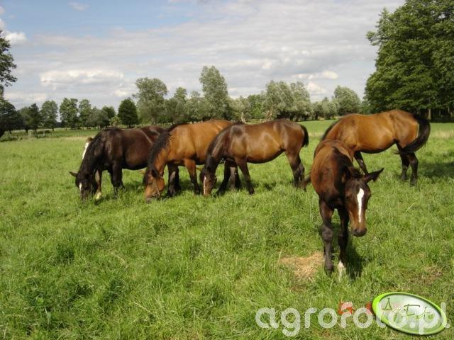 konie, wojdziuin i zydek