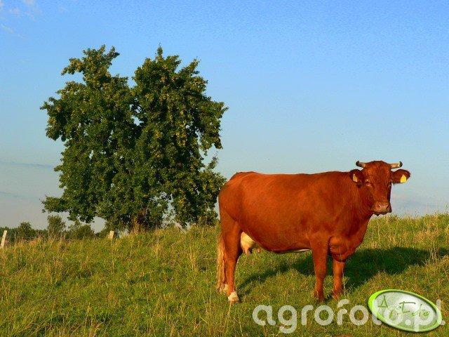 Krowa MM