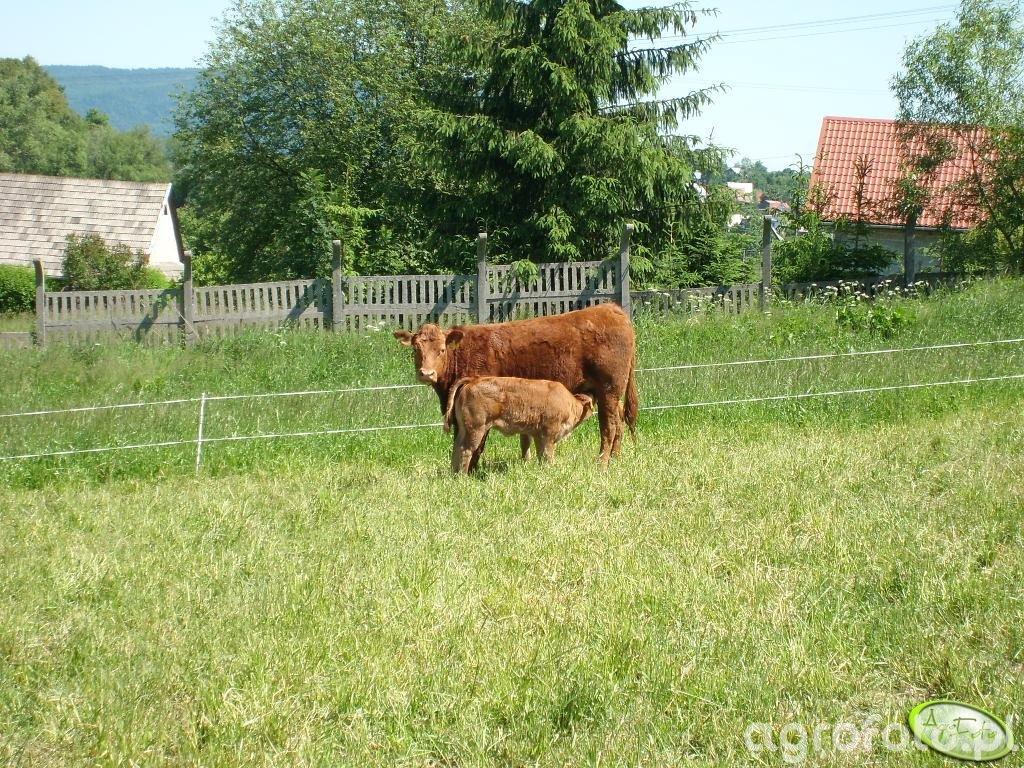 Krowa z cielakiem