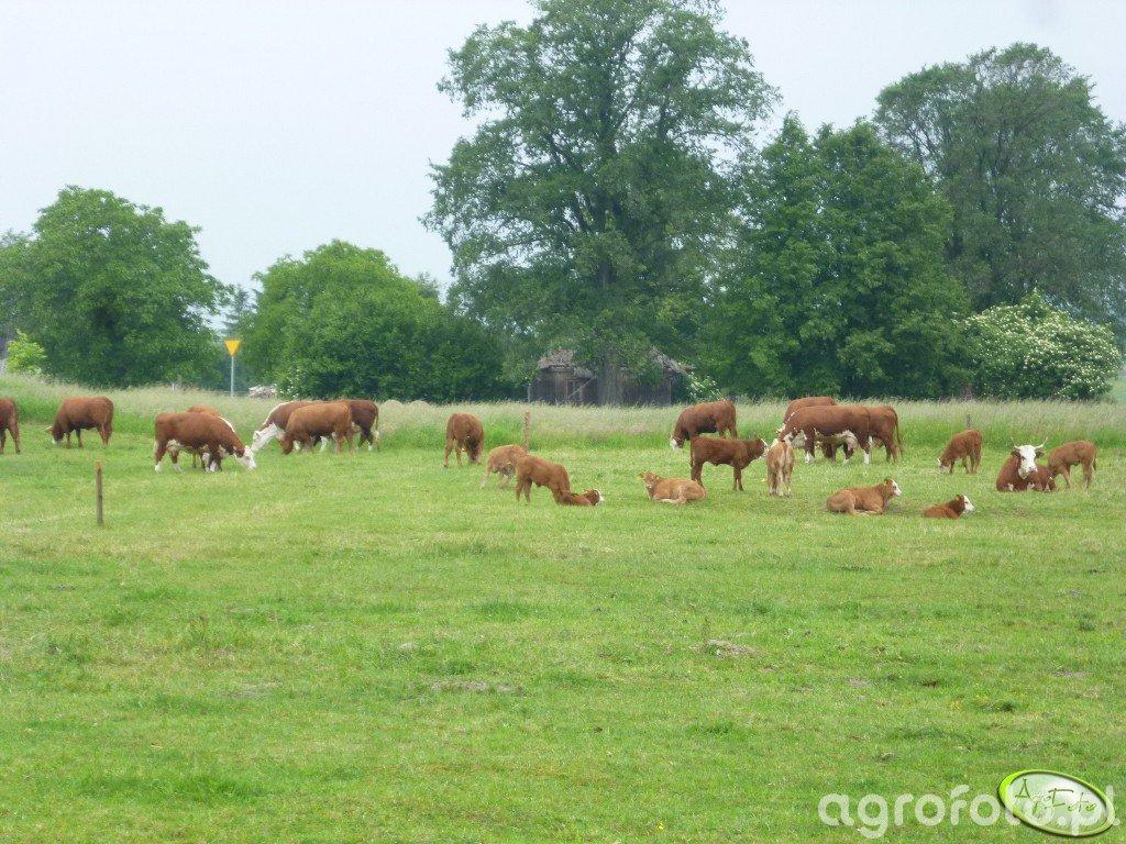 Krowy i młodzież