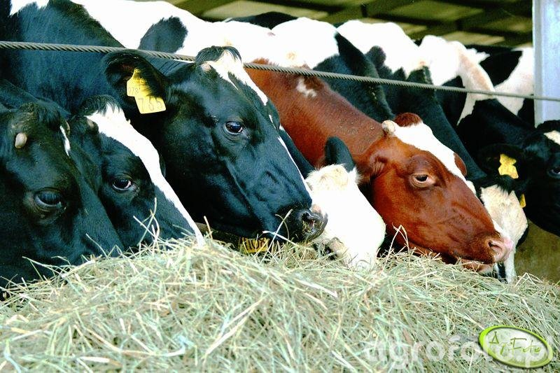 Krowy mleczne