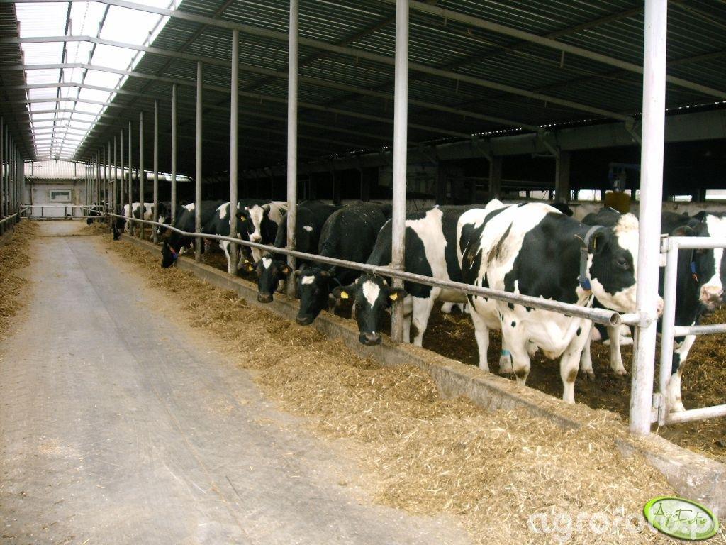 Krowy na jednej z ferm mlecznych