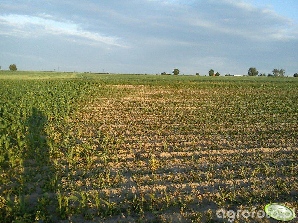 kukurydza - problem
