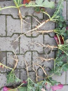 KWS Factor, całe rośliny