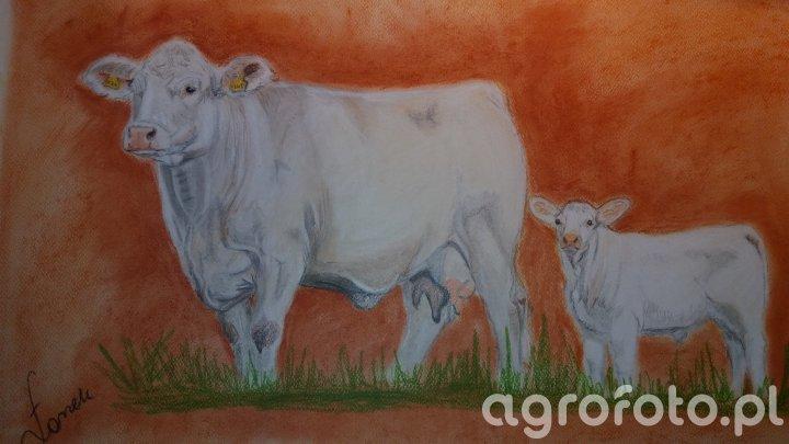 Obraz krowa Charolais z cielakiem
