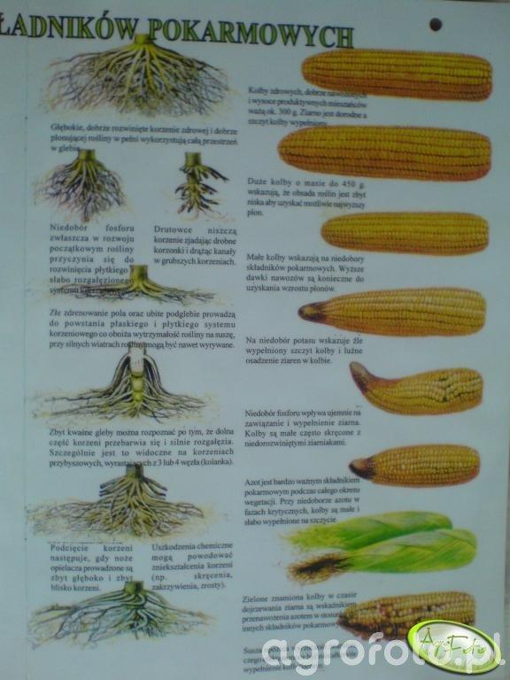 Objawy niedoboru składników pokarmowych w kukurydzy