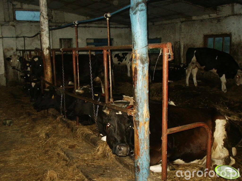 Obora i krowy ;)