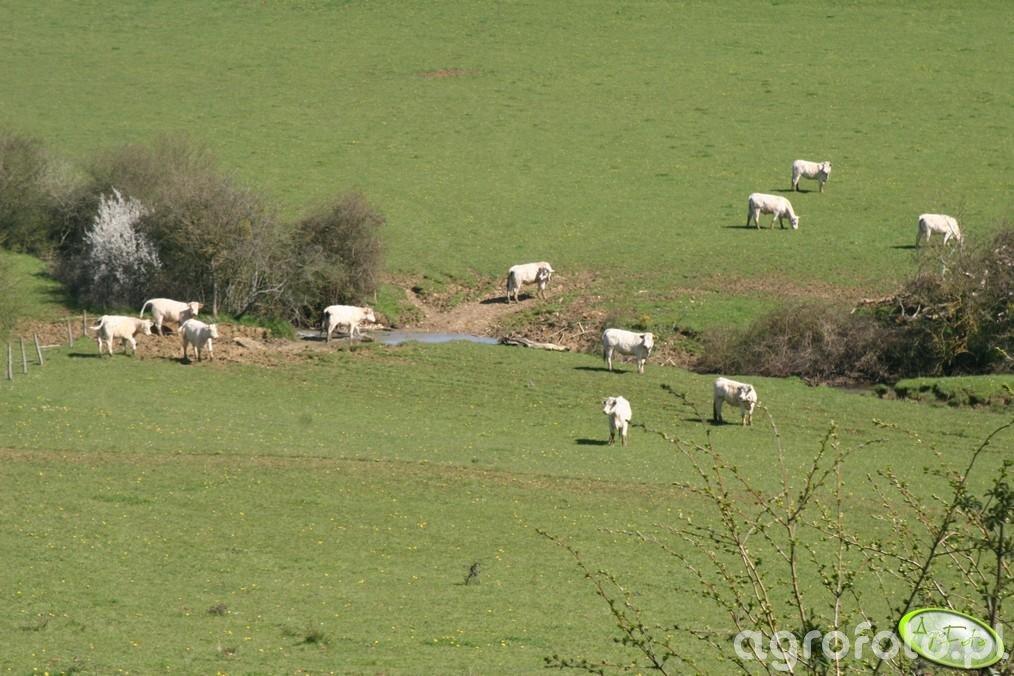 Pastwisko we Francji