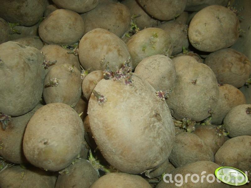 Podkiełkowane ziemniaki