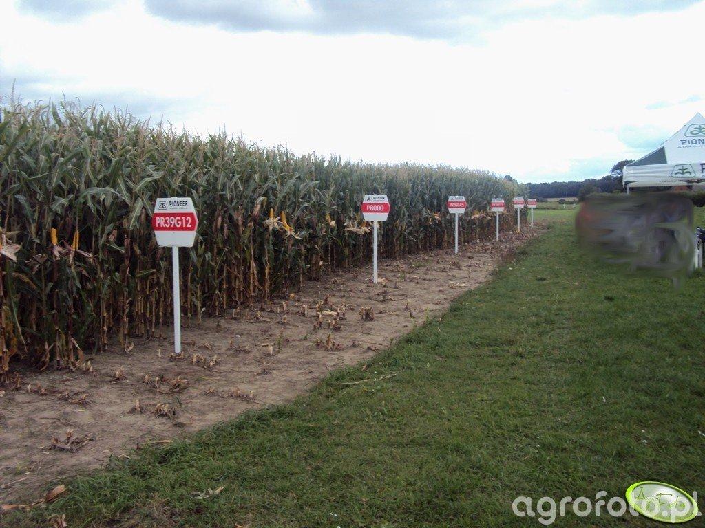 Pokaz kukurydzy Pioneer