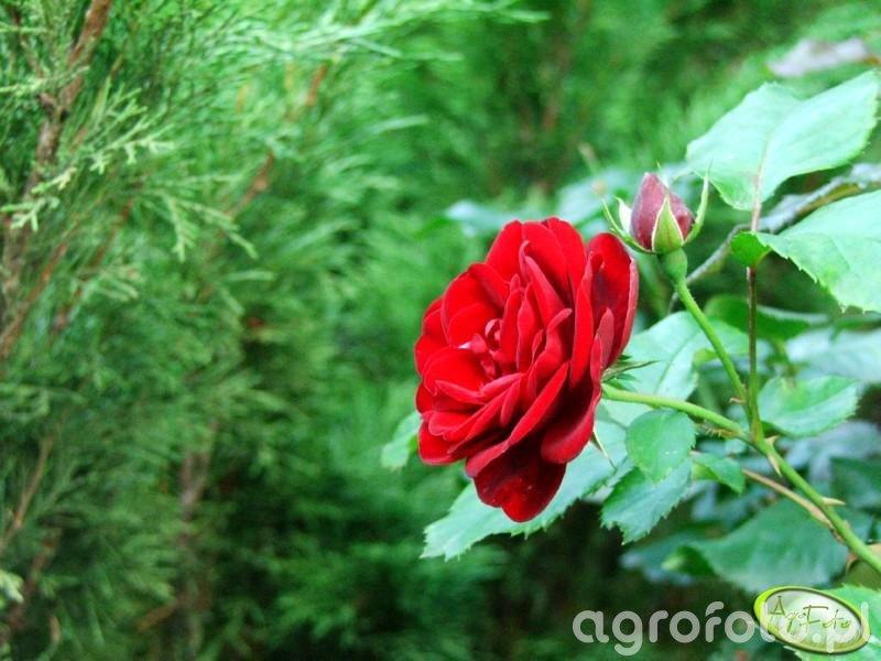 Róża przy wjeżdzie