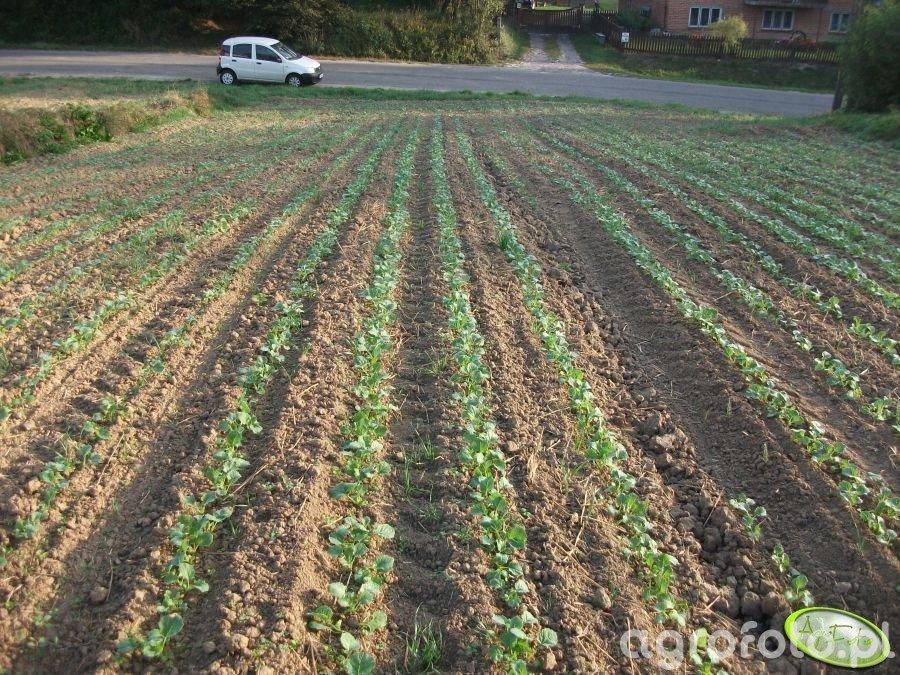 Rzepak siany siewnikiem do kukurydzy