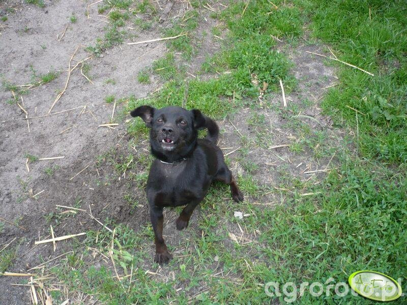 Tapluś - pies obronny ;)
