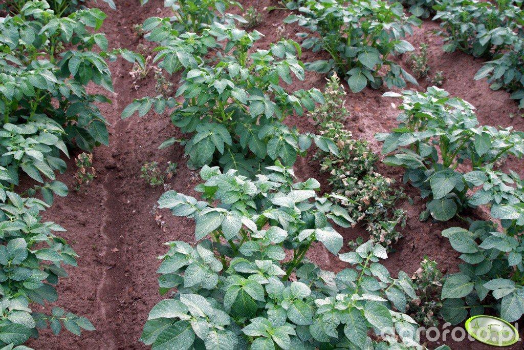 Ziemniaki Denar 04.06.2012
