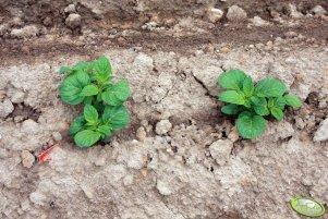 Ziemniaki Vineta 13.05.2012