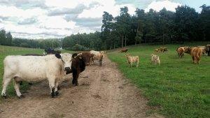 Krowy highland i galloway