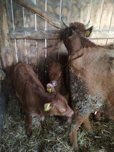Krowy i cielaki
