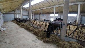 obora wolnostanowiskowa na 30 krów