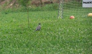 Dziki gołąb Grzywacz
