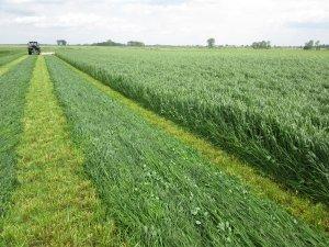 Trawa jednoroczna jako roślina osłonowa - BG-1 Milkway Sprint