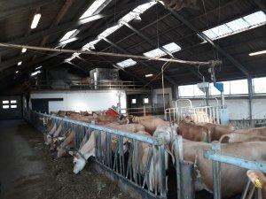 Krowy Jersey