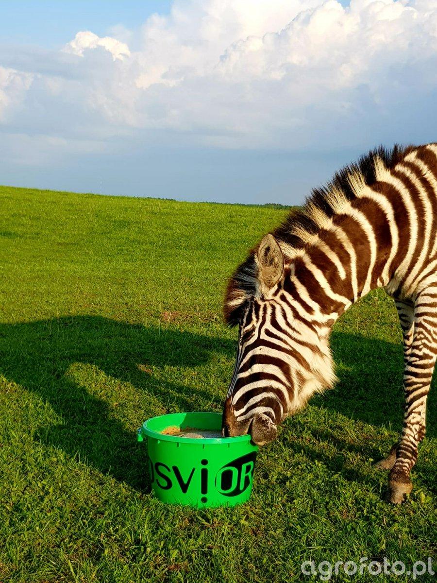 Mazurska zebra