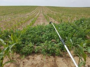 kukurydza nasienna