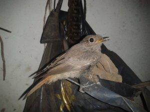 Ptaszek