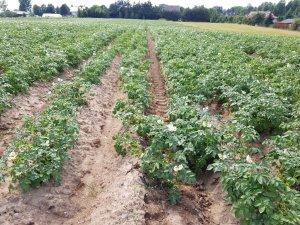 ziemniaki lord 21.06.2019