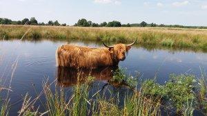 Krowa highland