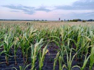 Kukurydza na słabych ziemiach