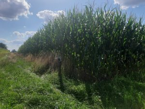 kukurydza Podlasia