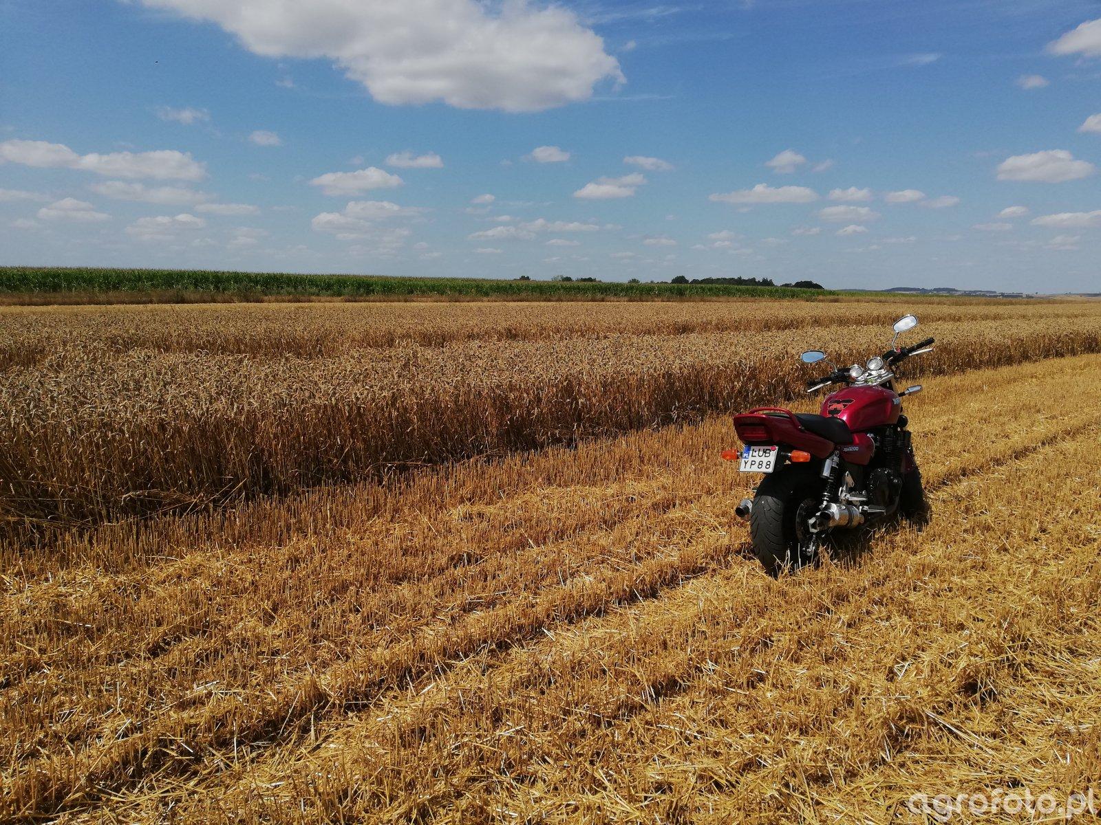 Plonowanie pszenicy