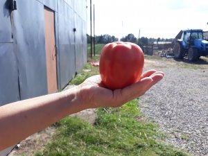 Pomidor gruntowy