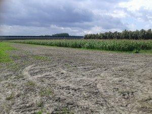 Kukurydza po jęczmieniu zimowym ☺