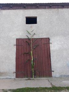 kukurydza SUPRIME