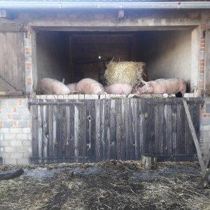 świnie na głębokiej ściółce